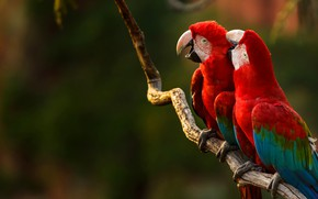 Picture birds, branch, beak, parrot, green-winged macaw
