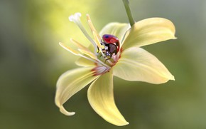 Picture flower, macro, background, ladybug, beetle, insect