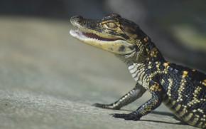 Picture look, pose, background, crocodile, mouth, cub, reptile, crocodile