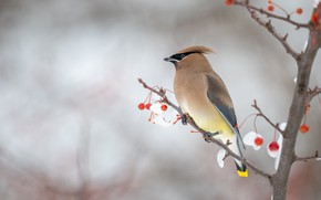 Picture winter, snow, branches, berries, background, bird, fruit, red, profile, bokeh, crest, the Waxwing
