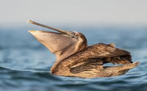 Picture water, the sun, bird, bokeh, Florida, Pelican