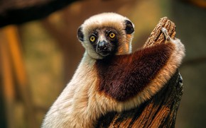 Picture eyes, look, face, nature, background, tree, paw, stump, portrait, treatment, lemur, fur, wildlife
