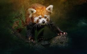 Picture red Panda, Ailurus fulgens, sara jazbar, little panda
