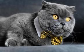 Picture cat, look, muzzle, Kote, gentleman, bow tie, British Shorthair, kotofeich