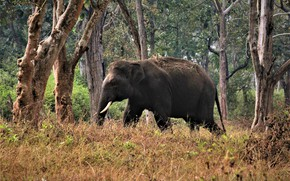 Picture forest, trees, nature, elephant