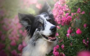 Picture face, flowers, portrait, roses, dog, pink, the border collie, rose Bush