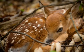 Picture nature, deer, Baby Bambi