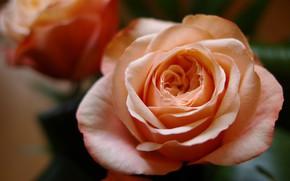 Picture flower, macro, flowers, close-up, background, rose, roses, orange, petals, Bud