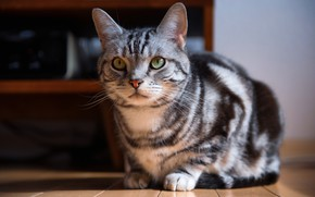 Picture cat, cat, look, light, grey, room, furniture, floor, face, sitting, striped, British, green-eyed, shelves