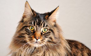 Picture Look, Mustache, Cat, Portrait, Maine Coon