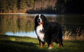 Picture look, face, light, nature, pose, lake, reflection, shore, dog, pond, Bernese mountain dog