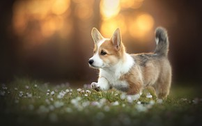 Picture each, dog, Corgi