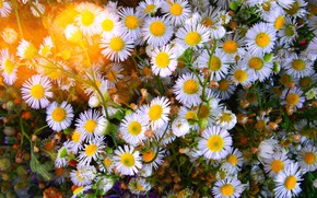 Picture Flowers, flowering, Daisy