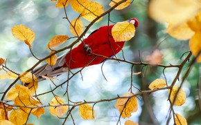 Picture autumn, branches, red, tree, bird, leaf, yellow, parrot, autumn leaves