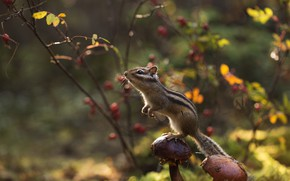 Picture autumn, forest, mushrooms, Chipmunk, stand, rodent, pet
