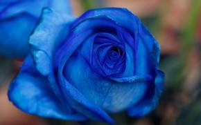 Picture flower, macro, rose, Bud, blue