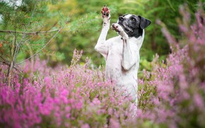 Picture forest, flowers, pose, thickets, dog, paws, stand, Heather