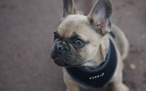 Picture dog, puppy, ears, face, doggie, French bulldog