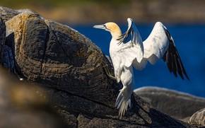 Picture sea, stones, rocks, bird, shore, wings, pond, stroke, the Northern Gannet