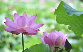 Picture flowers, background, Lotus