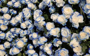 Picture leaves, roses, blue, buds, a lot, two-tone, blue-white