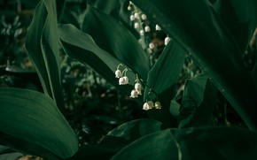 Picture leaves, flowers, the dark background, spring, white, lilies of the valley