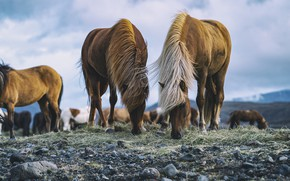 Picture the sky, grass, mountains, stones, overcast, horses, horse, pasture, pair, Iceland, two, the herd, bangs, …