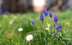 Picture greens, flowers, glade, spring, purple, lilac, Muscari, hyacinth mouse