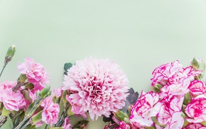 Picture flowers, background, pink, carnation, Dahlia