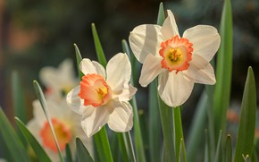 Picture leaves, white, daffodils, bokeh