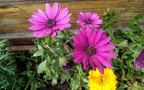 Picture Flowers, Flowers, Colors, Osteospermum