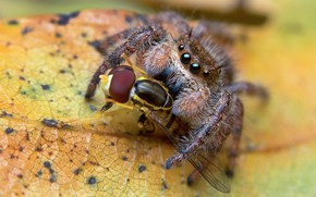 Picture macro, yellow, background, leaf, spider, predator, insect, mining, jumper, meal, fly, the Hoppy