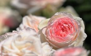 Picture close-up, blur bokeh, rosebuds