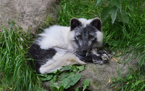 Picture grass, look, face, nature, pose, stones, Fox, lies, Fox, Fox, polar, Arctic Fox, Arctic, white …
