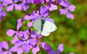 Picture Macro, Butterfly, Macro, Purple flowers, Butterfly, Purple flowers