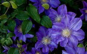 Picture leaves, drops, flowers, Bush, purple, lilac, clematis, clematis