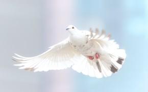 Picture white, dove, Bird
