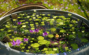 Picture pond, Lily, dragonflies
