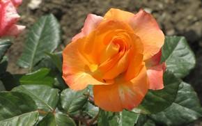 Picture Nature, Rose, Orange, Petals, Meduzanol ©, Summer 2018