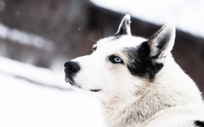 Picture winter, face, snow, dog, blue eyes, husky
