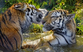 Picture water, the game, tigers, wet