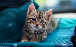 Wallpaper cat, cat, look, kitty, grey, small, muzzle, cute, fabric, lies, bag, kitty, striped, blue background