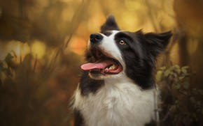 Picture autumn, language, look, face, nature, background, portrait, dog, bokeh, the border collie, looking up