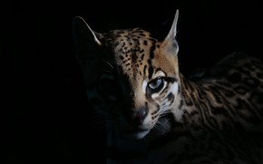 Picture look, wild, ocelot