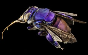 Picture macro, nature, Orchid bee, purple insect, eyes - wings -legs -proboscis-lint