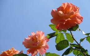 Picture the sky, trio, orange roses, three roses, Meduzanol ©, summer 2018