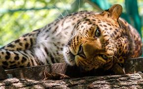 Picture look, face, light, pose, portrait, lies, log, zoo, bokeh, the lepard