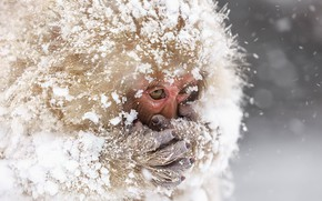 Picture snow, nature, Snowmonkeys