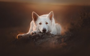 Picture look, face, dog, bokeh, The white Swiss shepherd dog