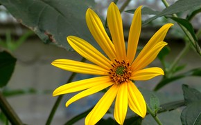 Picture flower, summer, July, Topinambur